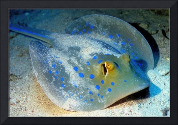 Spotted Ray Sleeping on Sand