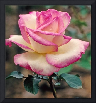 Tea Rose 'Princesse de Monaco' Picture