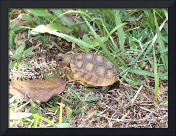 Young gopher tortoise in the grass