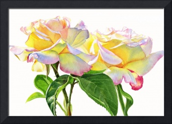 Peace Roses white Background