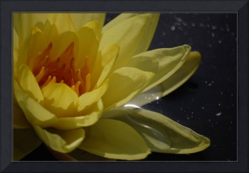 yellowwaterlily
