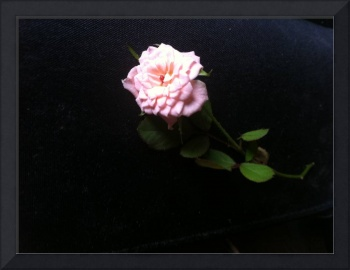 small pink rose in a dark background