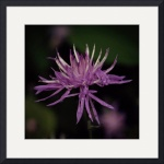 Knapweed by Jim Bavosi