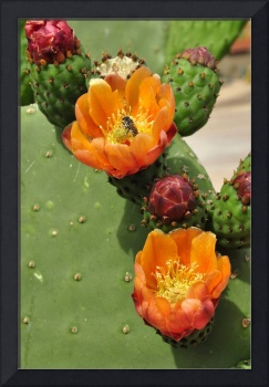 Pin Cushion Cactus