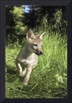 Captive Coyote Pup Running In The Grass Kalispell