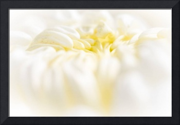 Lemon Meringue Chrysanthemum