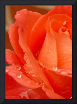 wet petals on orange rose