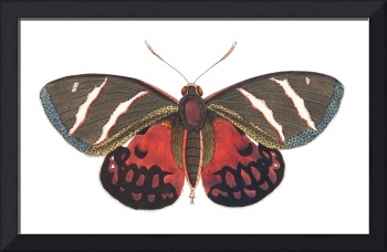 Papilio Icarus Illustration
