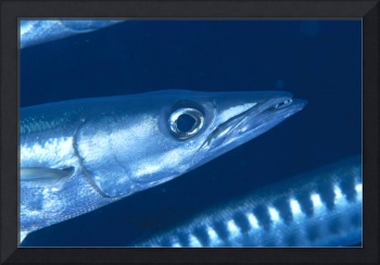 Solomon Islands, Extreme Close-Up Of Barracuda, Si