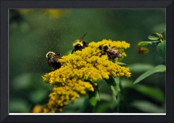 Three Bees with Pollen