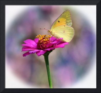 Orange Sulphur Butterfly Pastel Halo