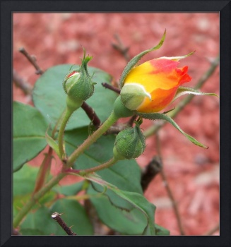 4008 Close up of an orange and yellow rose buds