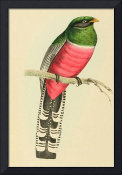Mexican Trogon - PD Image