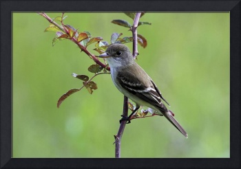 Willow Flycatcher Photograph