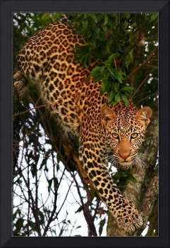 Leopard Lounges In A Tree
