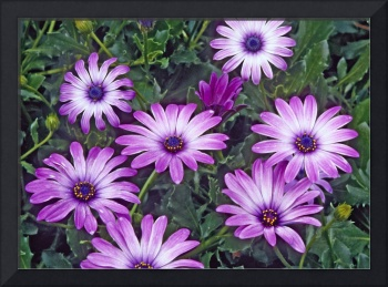 Daisy Purple Flowers