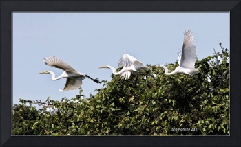 Egret_in_flight