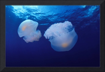 Marshall Islands, Kwajalein Atoll, Pair Of Jellyfi
