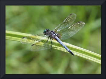 Nature Macro - Blue Dragonfly