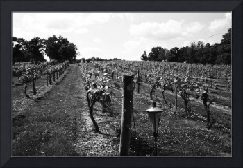 Lake Anna Vineyard