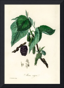 Vintage Botanical Black mulberry