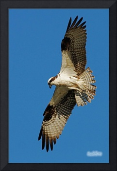 Osprey with Tail Spread