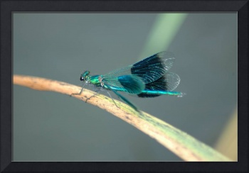 emerald spinner dragonfly