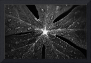 Rain on Mayapple in black and white by Jim Crotty