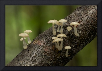 Mycena austrorida fungus in rainforest