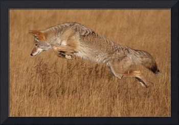 Coyote Flying