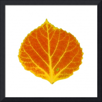 Orange and Yellow Aspen Leaf 1