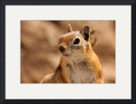 Golden Mantled Ground Squirrel 0783 by Jacque Alameddine