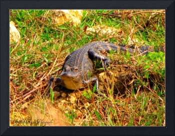 Alligator Sunning by the Slough - Wildlife