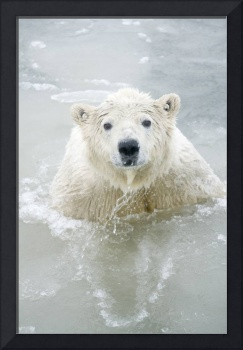 Polar Bear boar plays in waters along a barrier is
