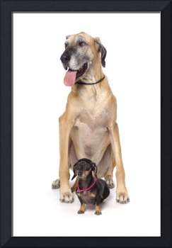 Great Dane And Dachshund Portrait