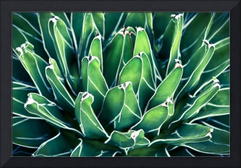Bright Agave
