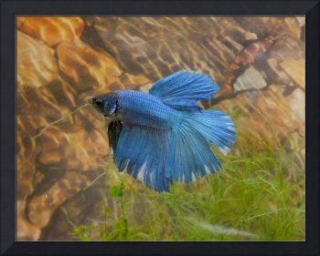 Blue and White Betta with stone & moss background