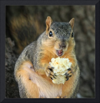 Squirrel eating sweet corn