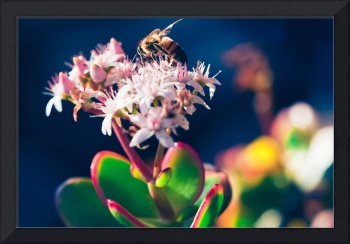 Crassula Ovata Flowers And Honey Bee