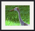 Young Sandhill Crane by Jacque Alameddine