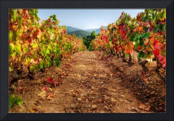 Colorful autumn vineyard - Provence