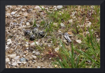 killdeer_eggs