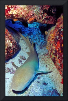 Nurse Shark on Crevice