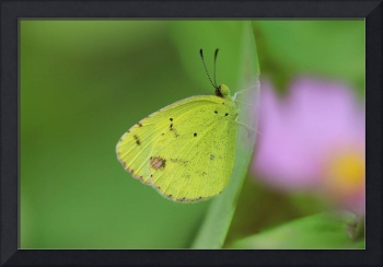Little Yellow Butterfly Close-up