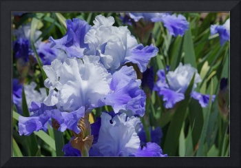 Blue Irises Flowers Art Prints Iris Floral Garden