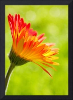 Gerbera Mix Flower in Sunshine