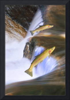 Migrating Steelhead Salmon Leaping Over Falls, Can