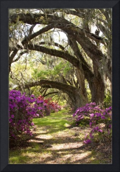 Azeleas and Live Oaks at Magnolia Plantation