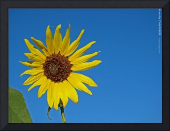 Sunflower, 5 Oct 2010