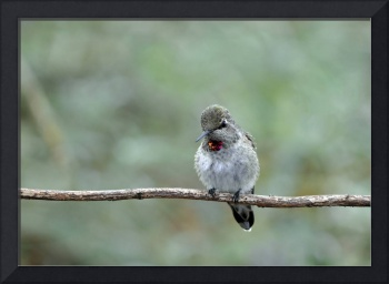 Young Male Anna's Hummingbird